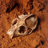Crâne de primate (40 millions d'années) © Collection phosphatières du Quercy
