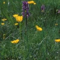 Renoncules  et Orchis bouffons ©V. Heaulme