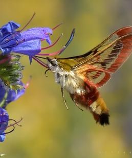 Veillée - Les pollinisateurs sauvages