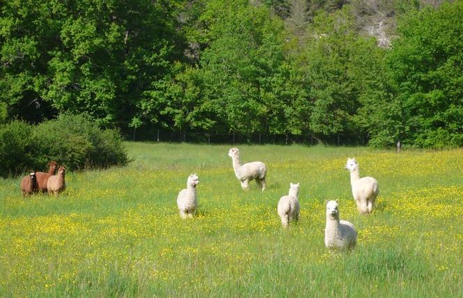 Alpagas du Quercy 2 - Frayssinet