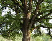 Les Causses du Quercy ont fêté leurs vieux arbres