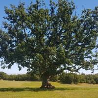 Magnifique chêne à Espédaillac © Lot Tourisme - A. Leconte